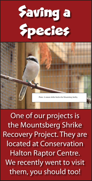 Mountsberg Shrike Recovery Project